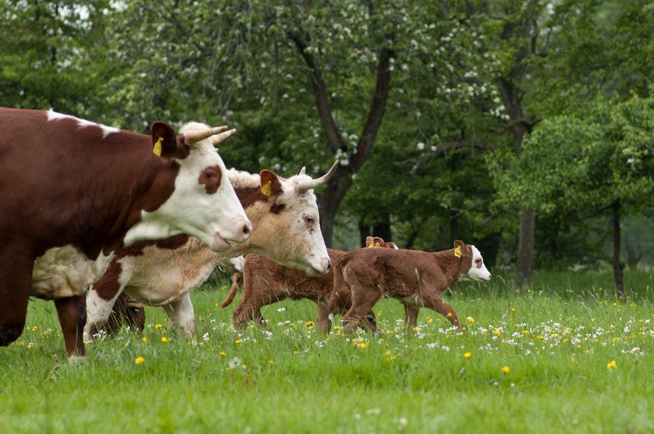Gärtnerei Sannmann, Demeter, Rinder, artgerechte Haltung von Tieren, Fleischliebhaber, Schlachtung, Rindfleisch, Hamburg, Vier- und Marschlande